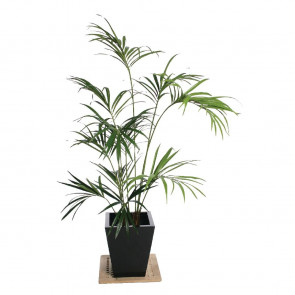 Kentia Palm 1500mm