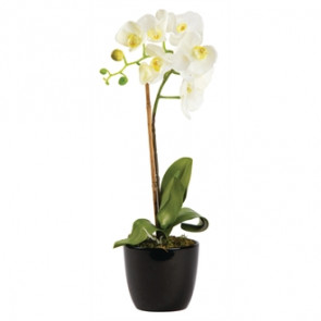 Small Snow Phalaenopsis Orchid in Round Planter 750mm